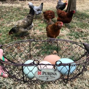 Tips for Collecting Chicken Eggs