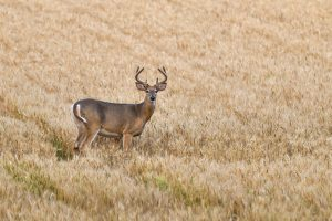 Culling or Harvesting Management Deer